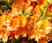 orange flowering bushes shrubs