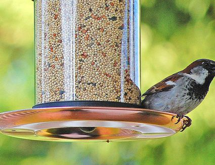 Can Birds Eat Peanut Butter? The Truth and Myths