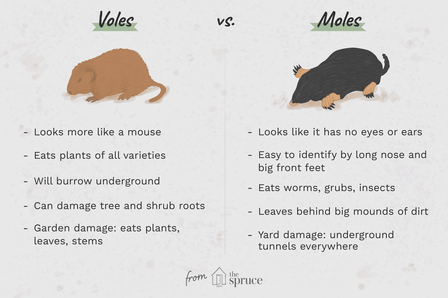 What Is A Vole As Compared To A Mole