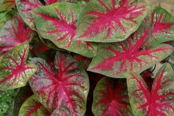 caladiums - tropical perennials
