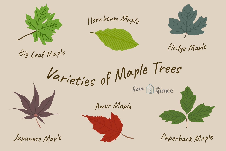 13 Beautiful Species Of Maple Trees