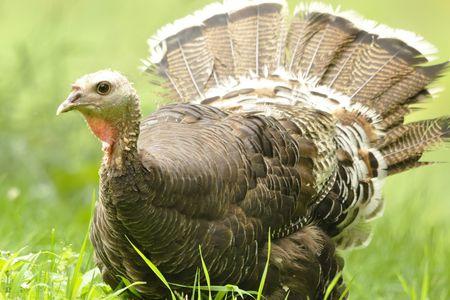 what do wild turkeys