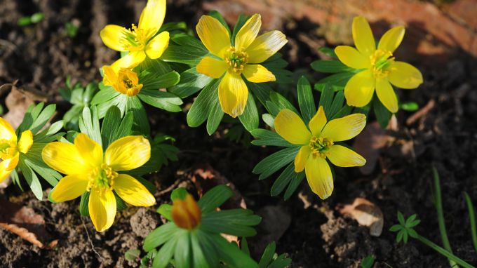 Winter Aconite Plants Care And Growing Guide