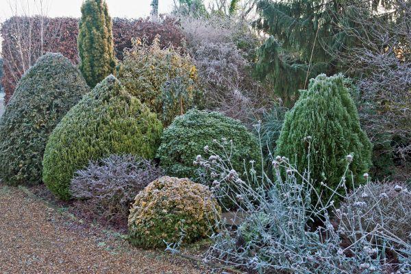 dwarf evergreens give