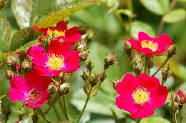 late summer flowering shrubs