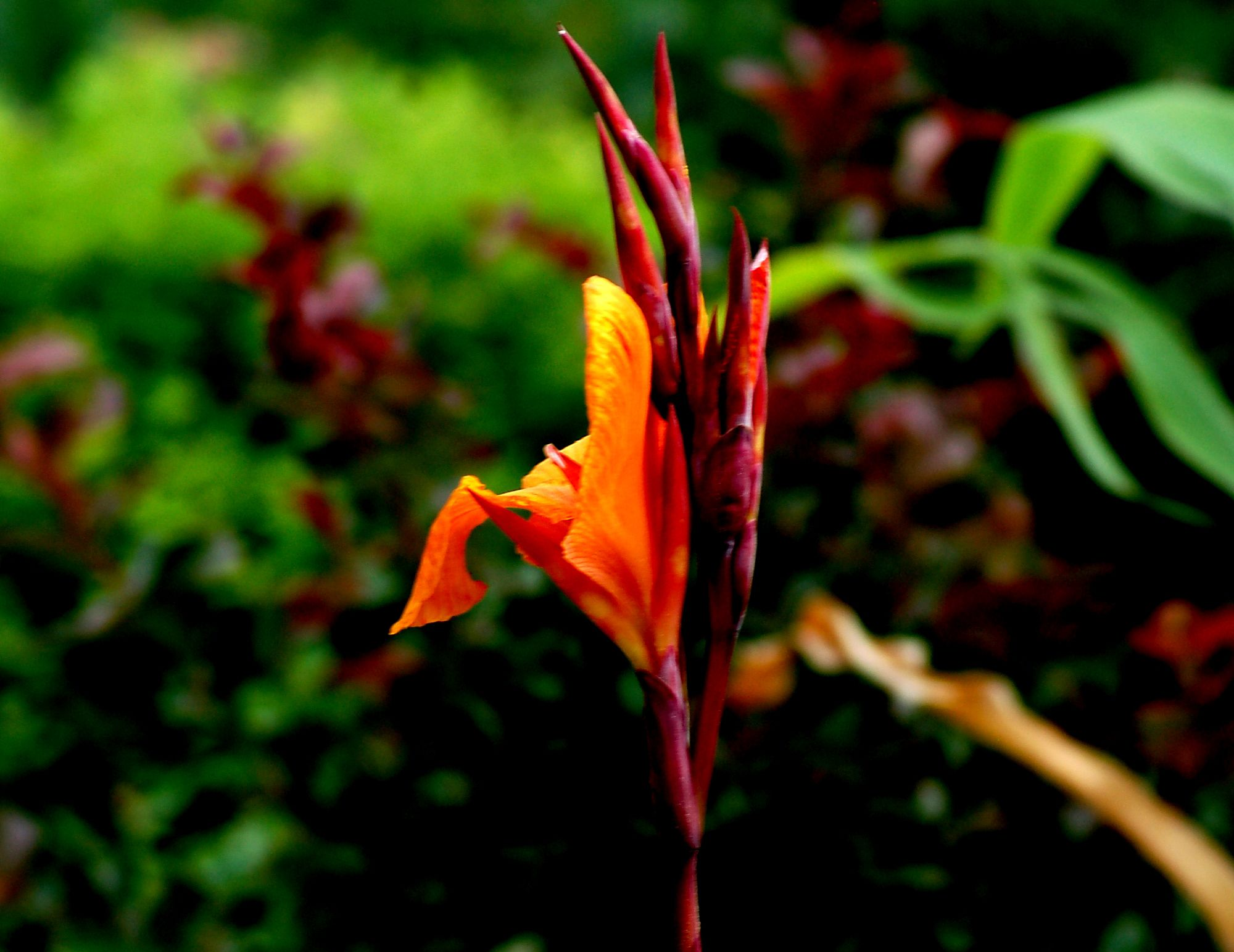 How to Dig and Store Canna Bulbs for Replanting