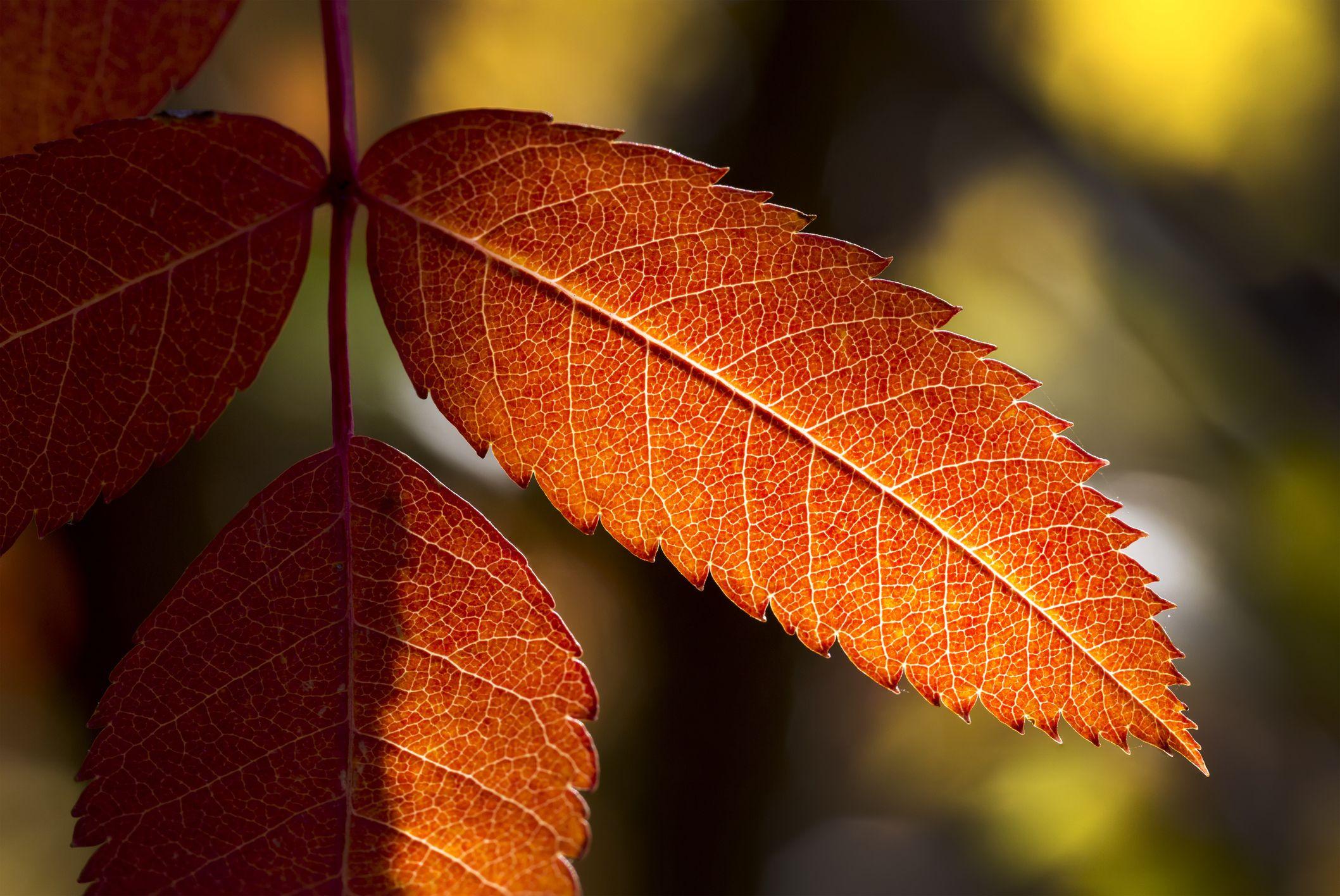 Fall Foliage Trees American Mountain Ash and White Ash