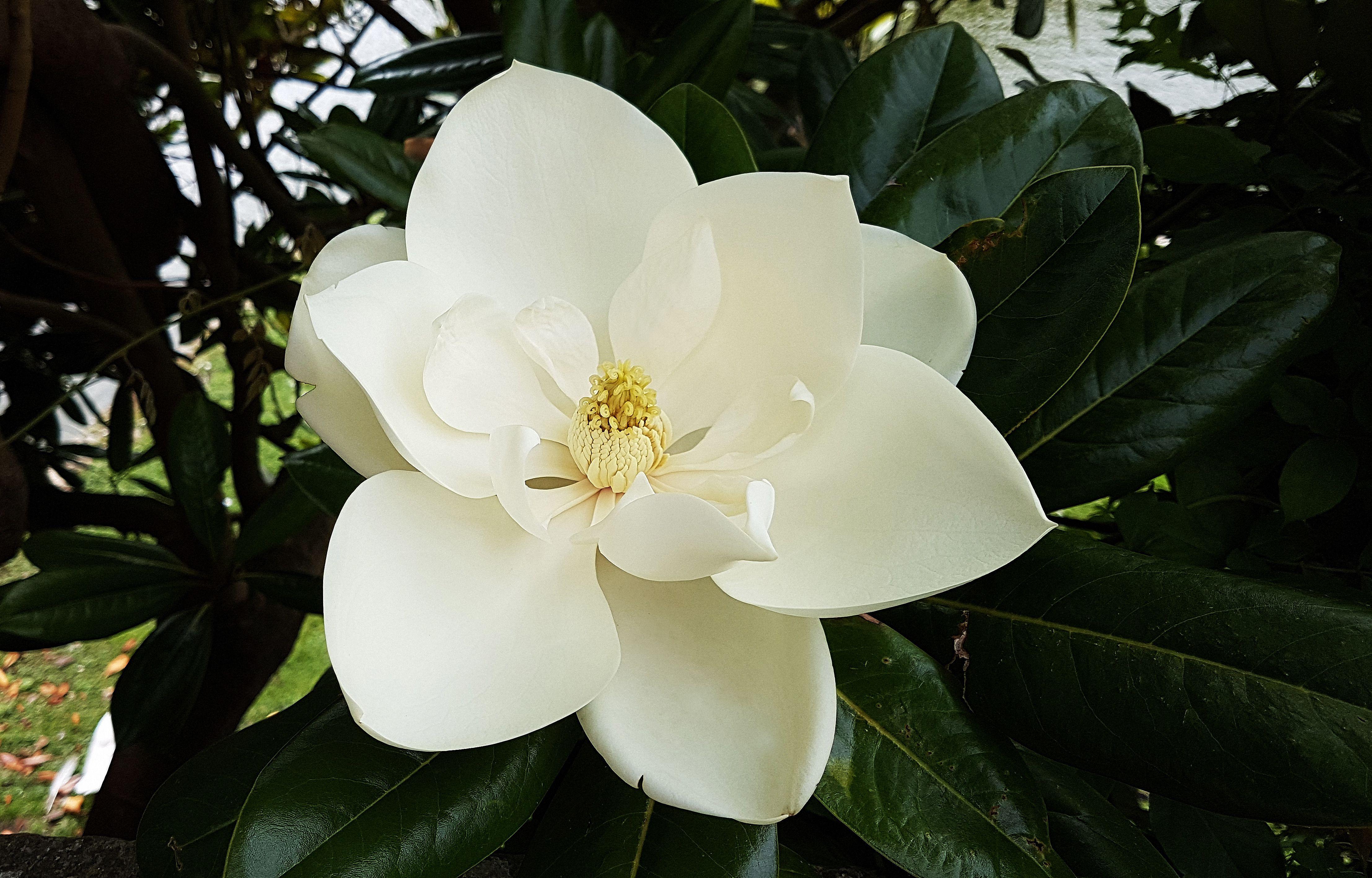 farm kitchen decor range growing the sweetbay magnolia tree in home garden