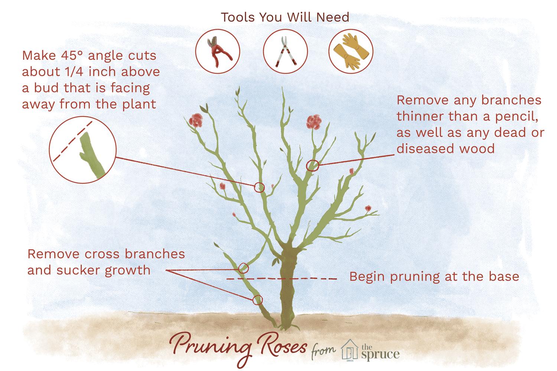 hight resolution of rose leaf diagram