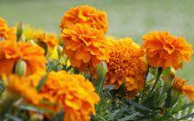 Harvest Marigold Seeds