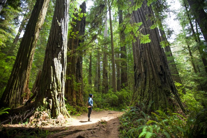 A hiker stands amongst giant Redwood Trees