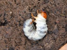 Prevent And Deal With Lawn Grubs