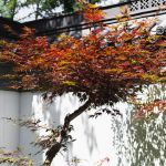 How To Grow And Care For Bloodgood Japanese Maple Trees