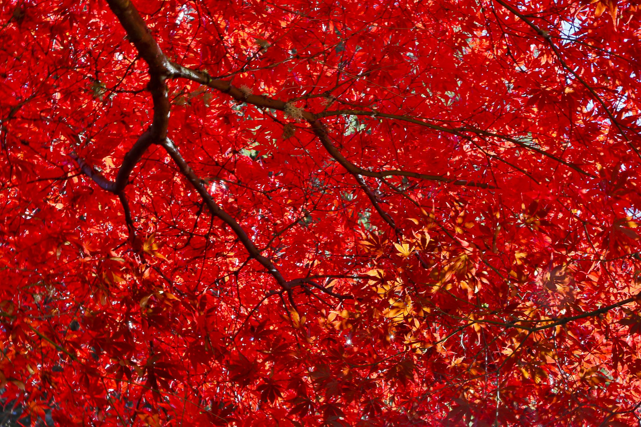 Japanese Maple Cultivars Have Leaves In Many Colors