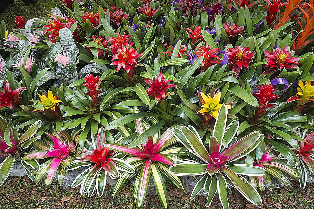 How To Propagate Bromeliads At Home