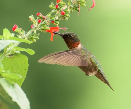 hummingbird diagram of color shading venn examples ruby throated identification diagrams