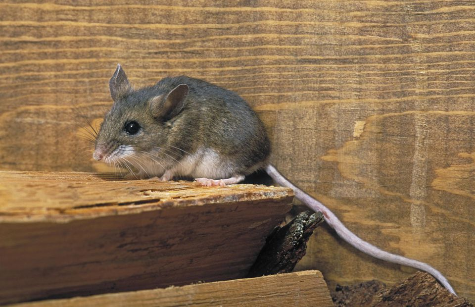 Common Concerns About Deer Mice and Hantavirus