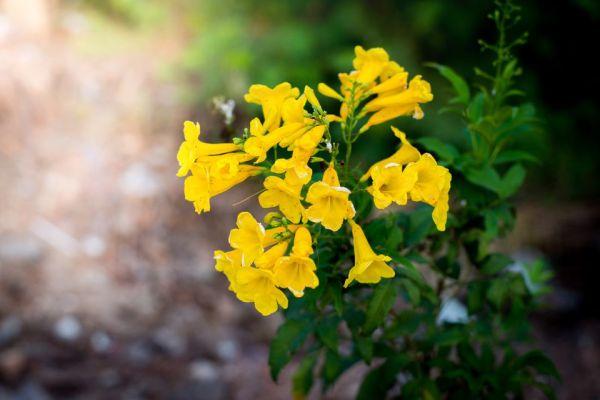 yellow bells easy plant