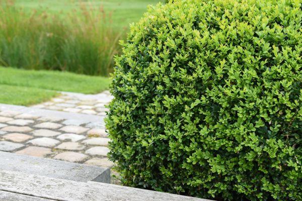 deer-resistant shrubs