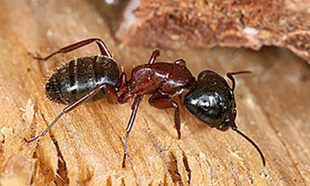 control carpenter ants and