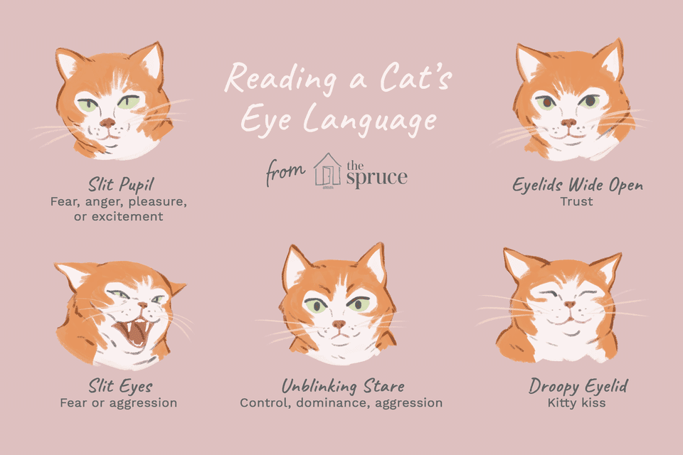 Reading the Eyes of Your Cat
