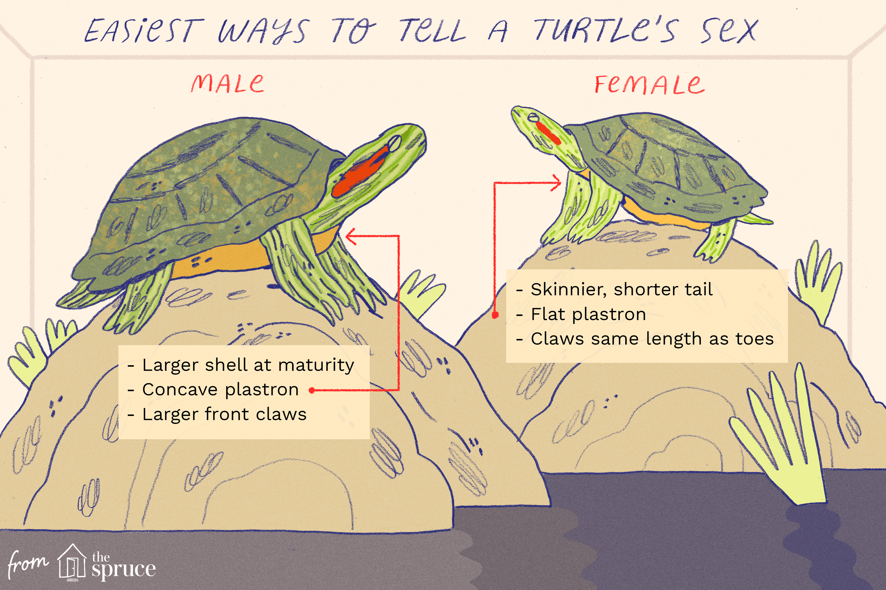 Determining The Gender Of A Turtle