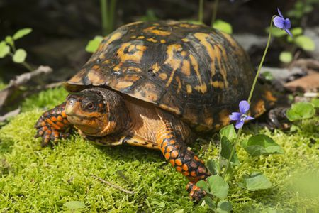 what your box turtle