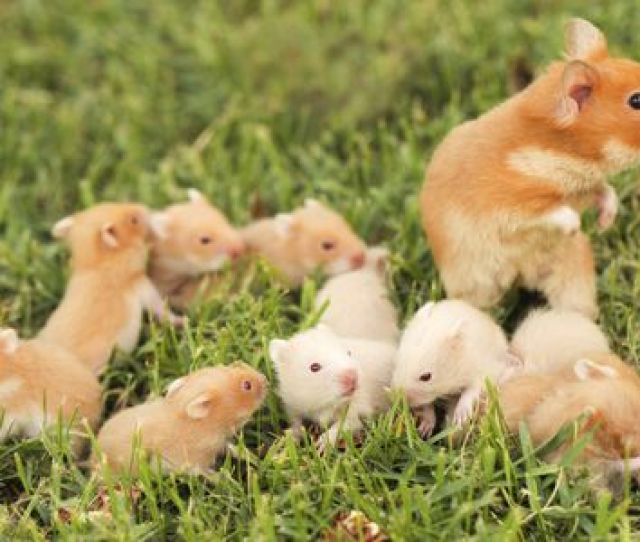 Syrian Hamster With Babies