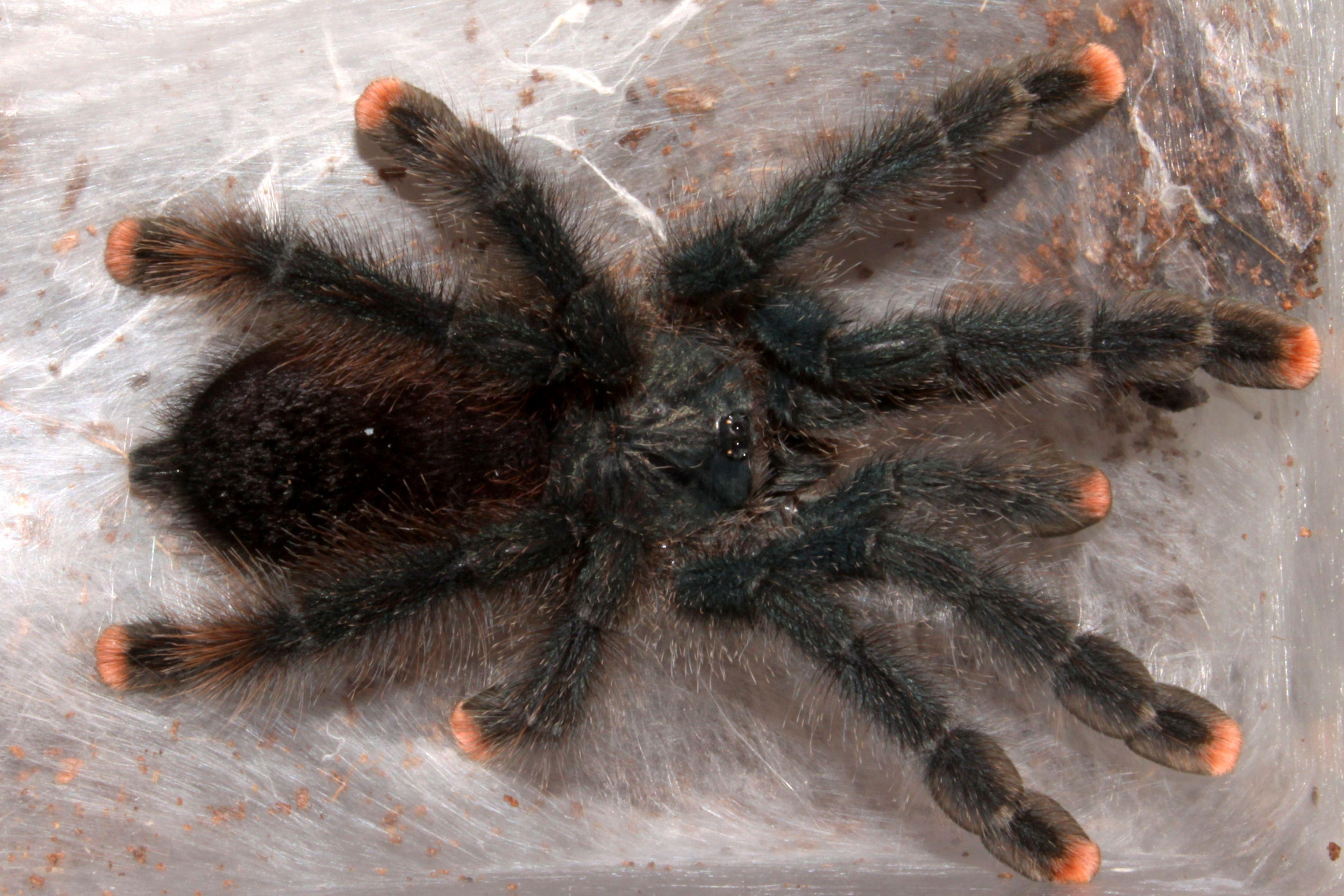 the 10 best tarantula