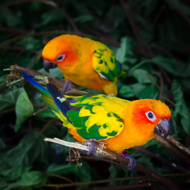 Two conures in a tree