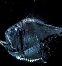 deep sea hatchet fish [ 2000 x 1287 Pixel ]