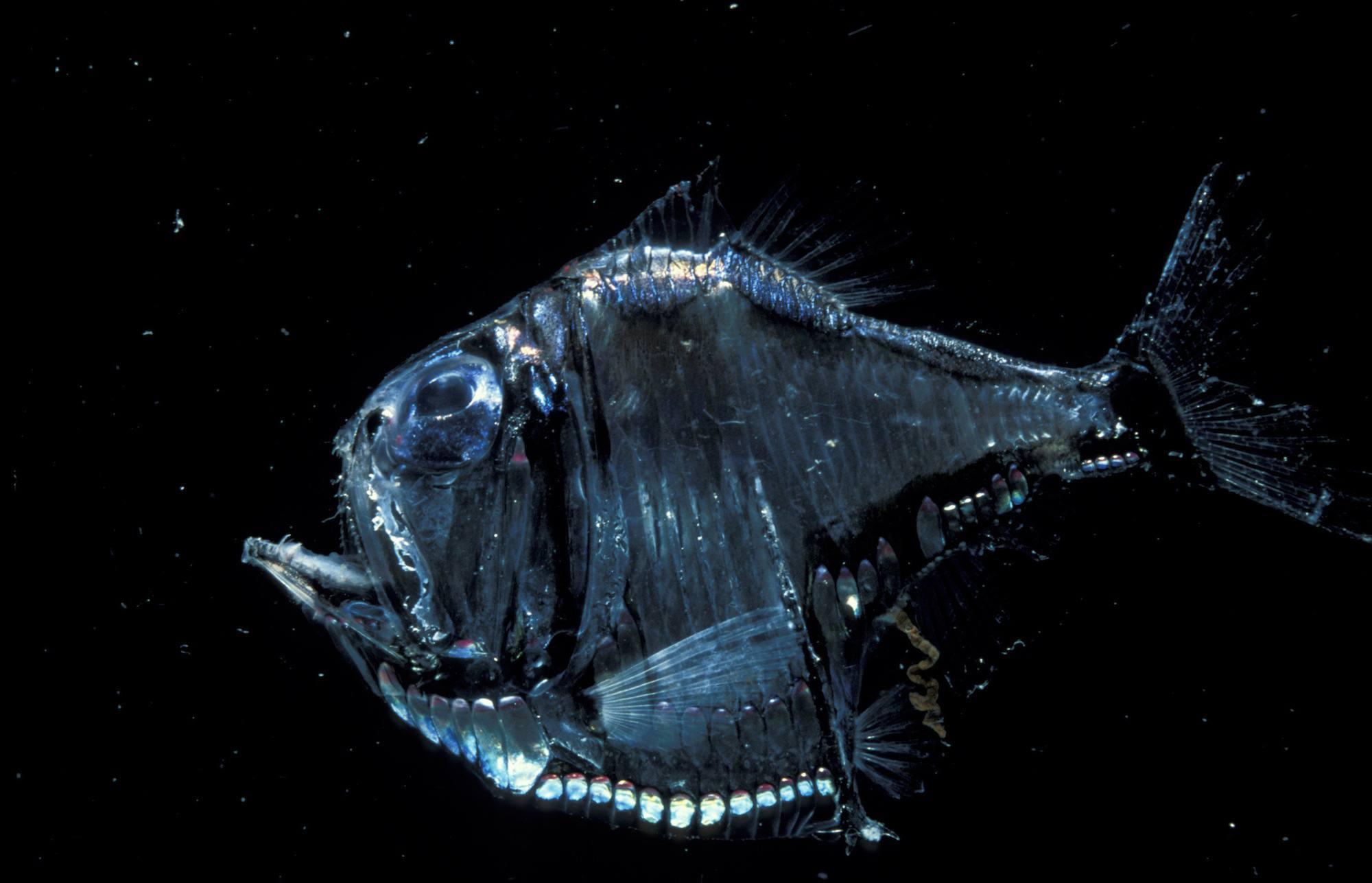 hight resolution of deep sea hatchet fish