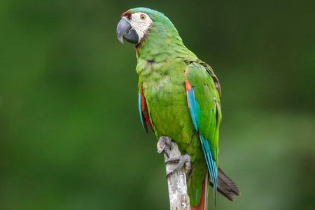 severe chestnut fronted macaw