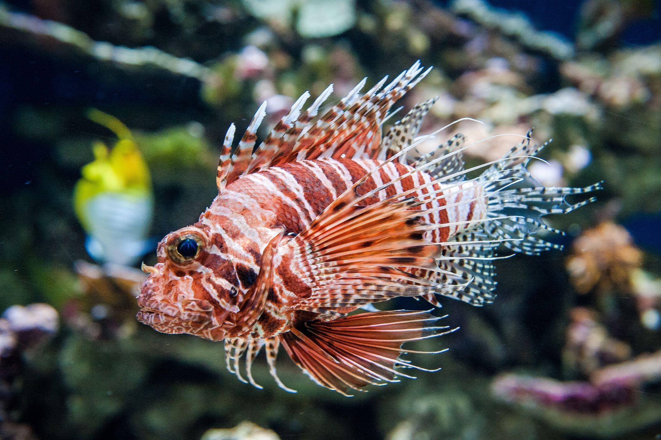 Beware Of Poisonous Fish In Saltwater Aquariums