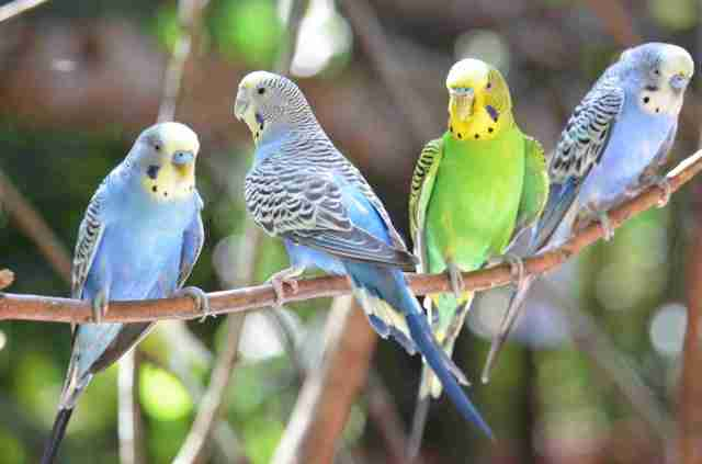 Image result for parakeet parrot history