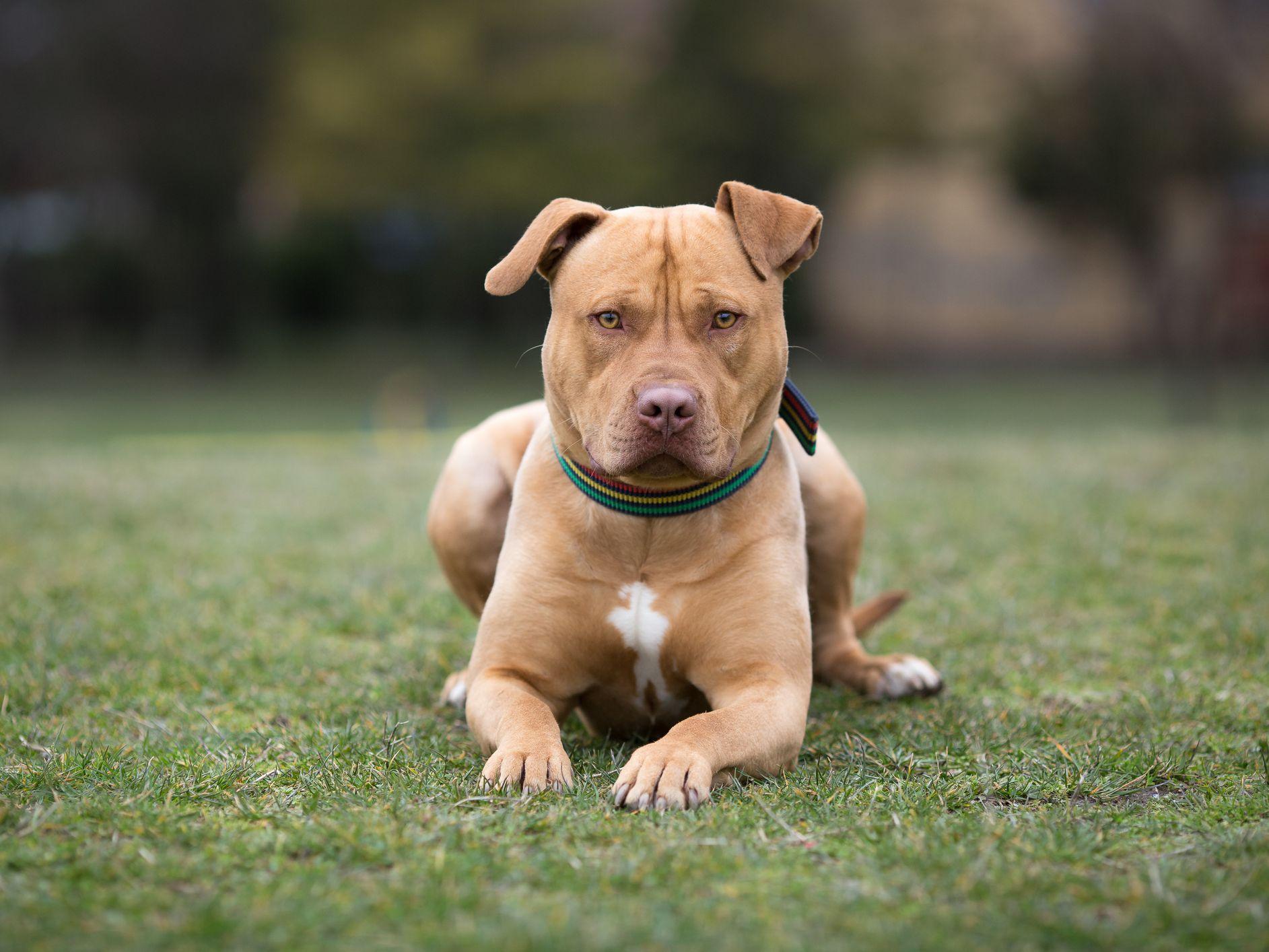 american staffordshire terrier full
