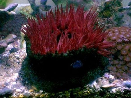 marine sea anemone photo