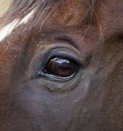 diagram of horse color [ 1500 x 1000 Pixel ]