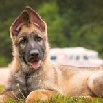 84 Names For German Shepherds