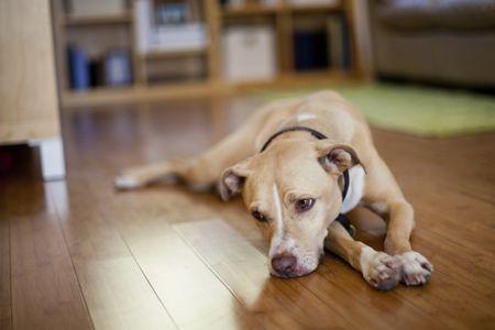 do dogs get depression