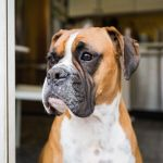 55 Names For Boxer Dogs