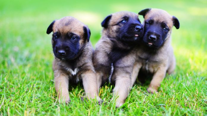 The best time to start training Belgian Malinois is when they are still puppies