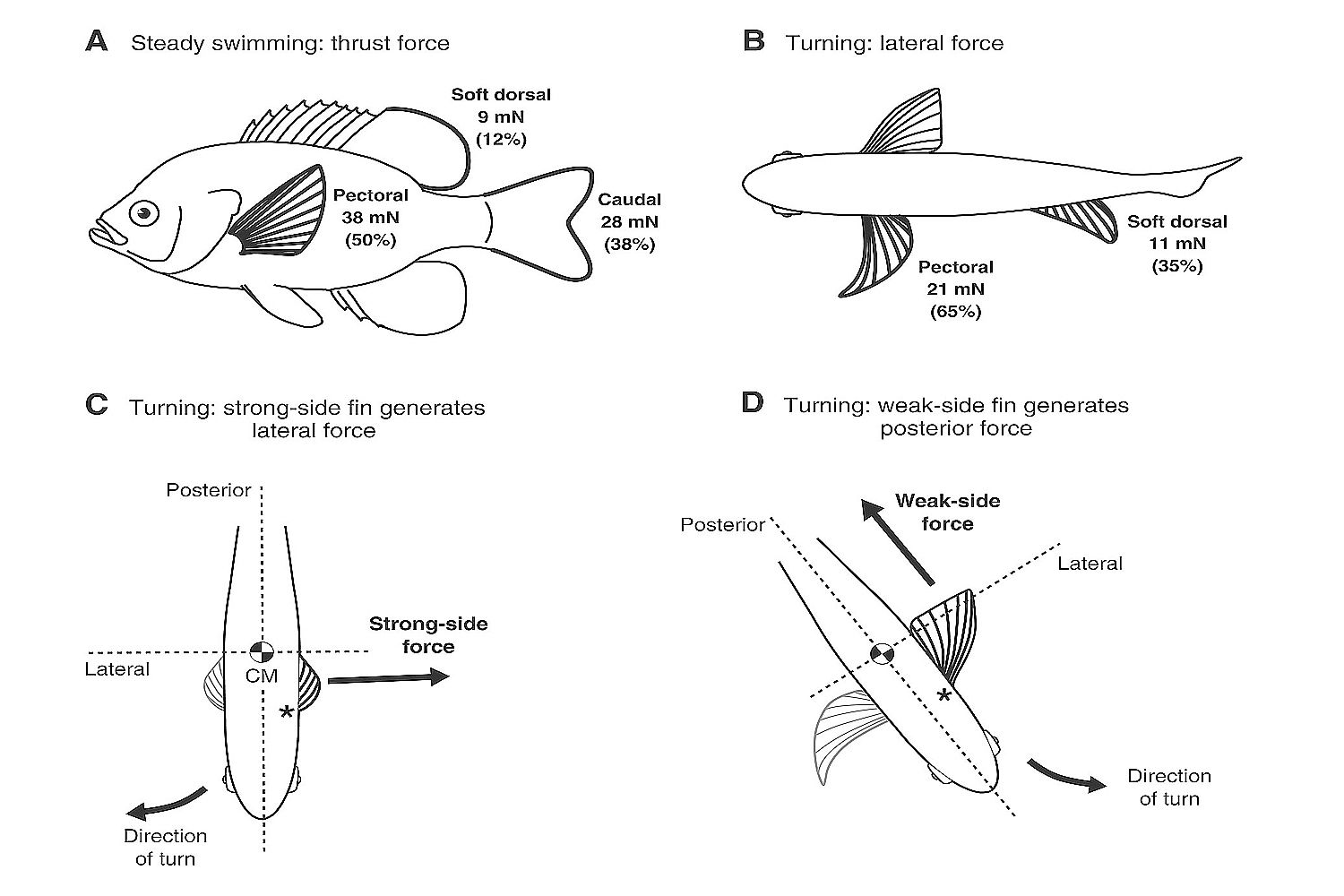Swimming, Balance, Oxygen and Food Consumption in Fish