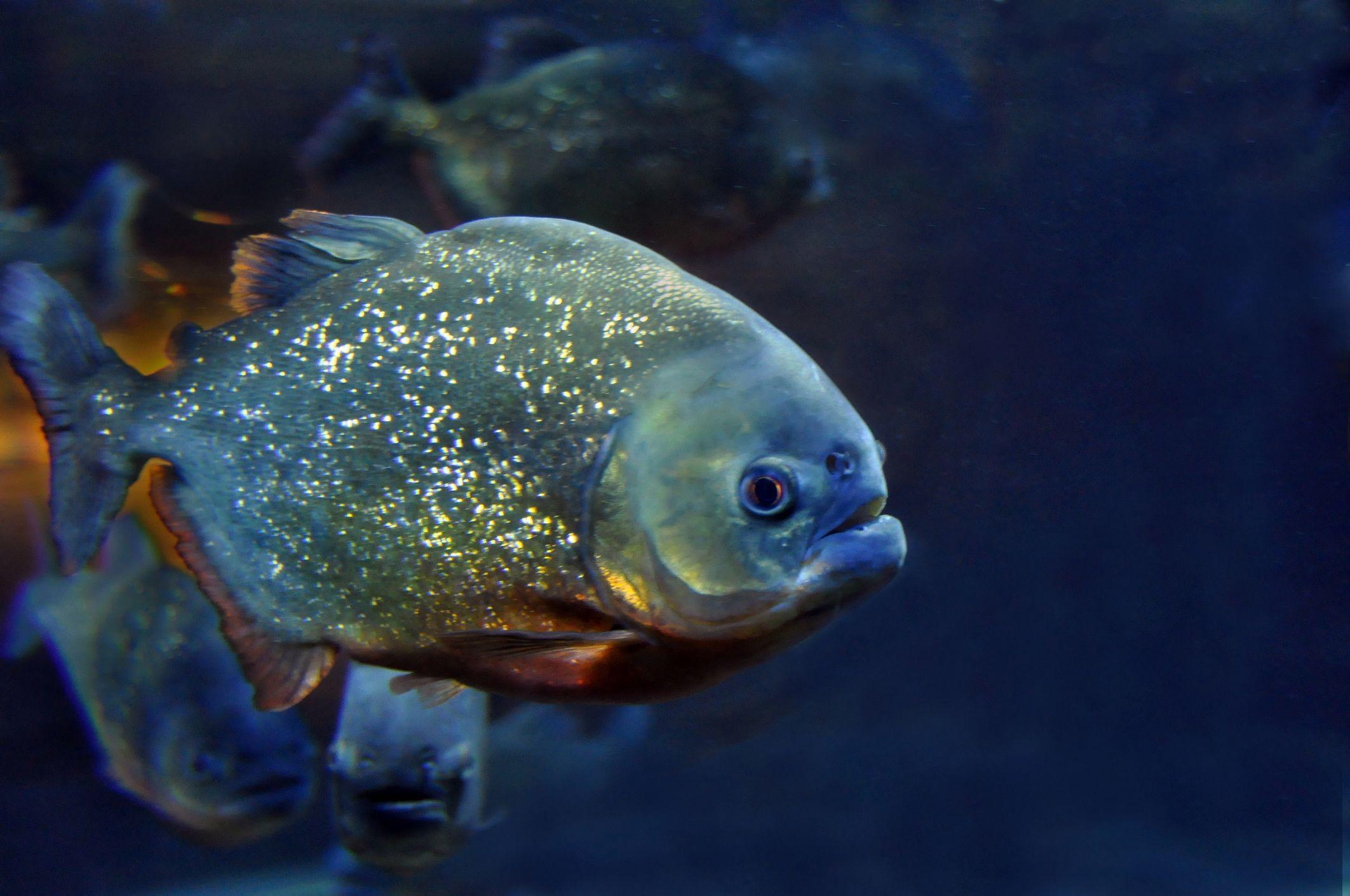 Fish Can Be Omnivores Herbivores Or Carnivores