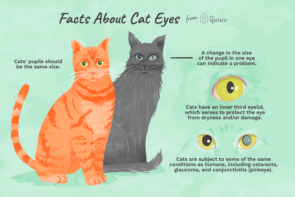 medium resolution of illustration of facts about cat eyes