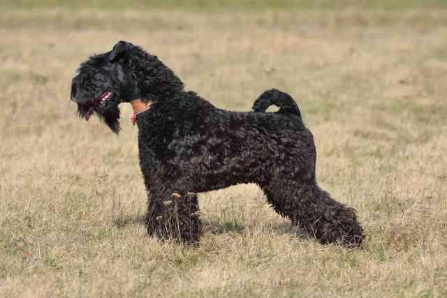 Kerry Blue Terrier Short Hair