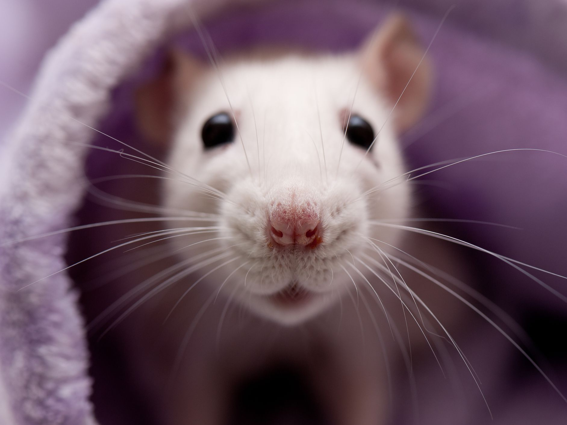 What to Do If Your Pet Rat Has a Breathing Problem