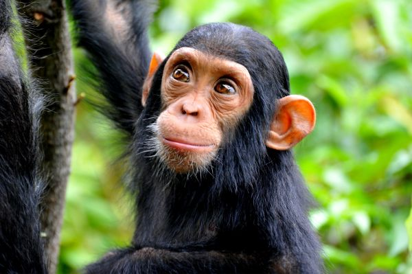 Keeping And Caring Chimpanzees Pets