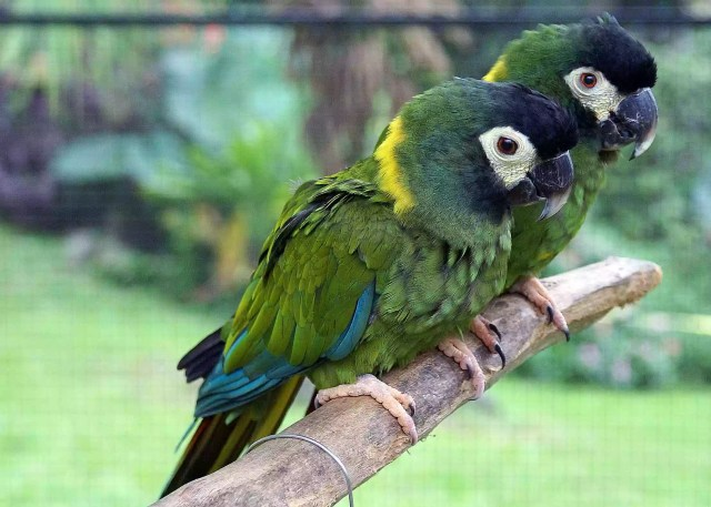 Two Yellow-collared Macaws
