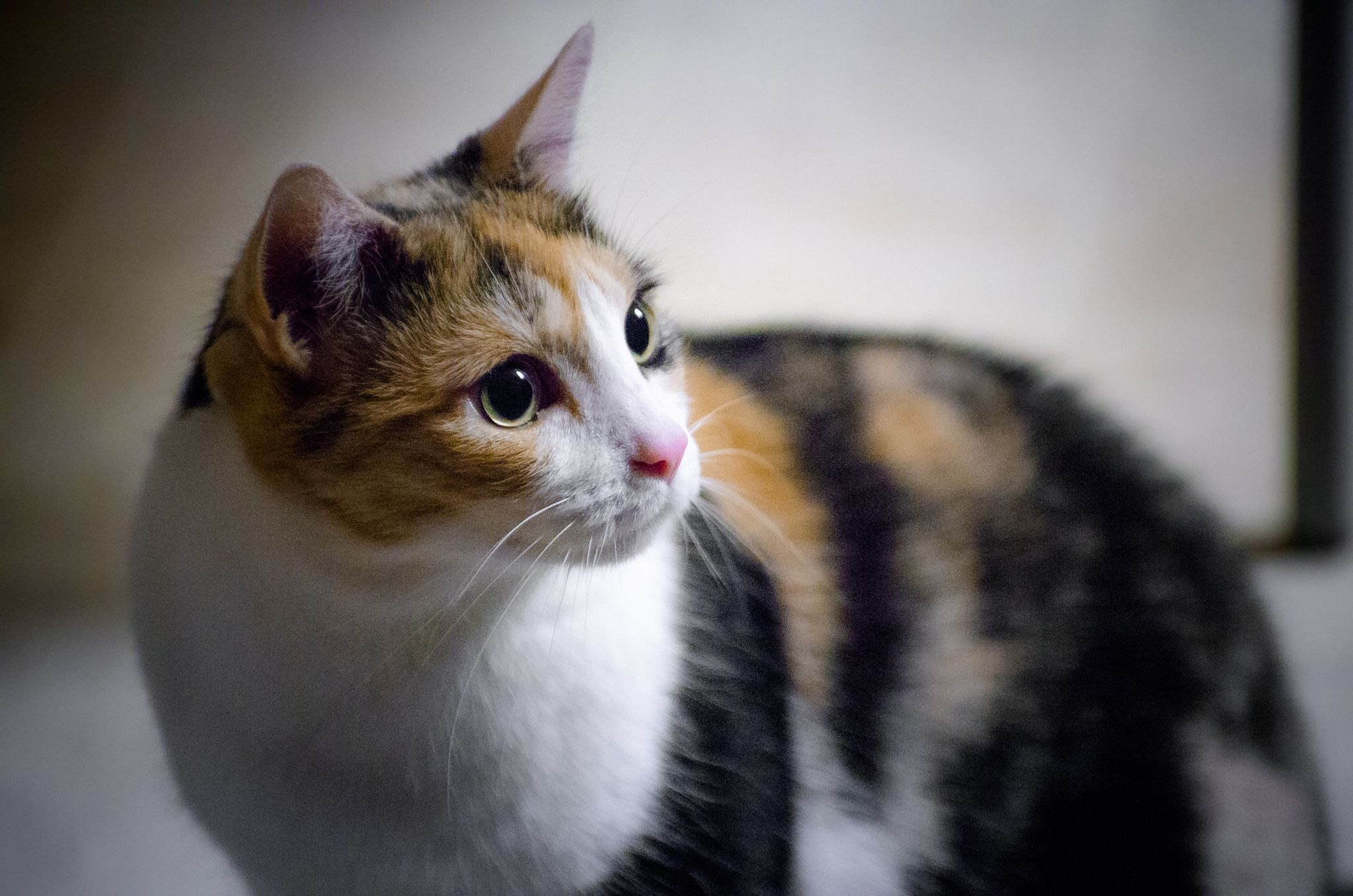 Cute Pictures Of Calico Cats And Kittens